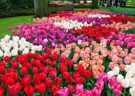 Keukenhof Tulip Gardens Amsterdam Tulipe Pinterest