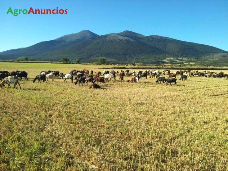 Venta de 200 Cabras en Soria