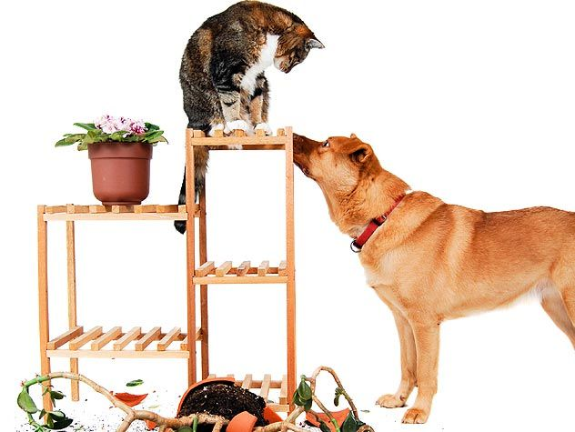 If your dog is constantly chasing your cat(s), find out why he is doing so here and how to get him to stop.