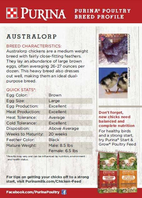 Featured chicken breed: Australorp  Originally from Australia, the Australorp chicken achieved worldwide popularity in the 1920s after the breed broke world records for egg production. Australorps continue to be popular today because of their ability to produce both wholesome, nutritious eggs and meat.