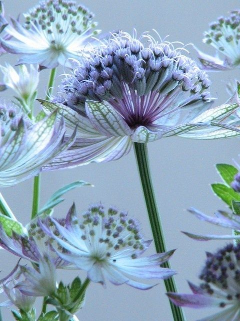This is astrantia or Masterwort. I love the look of this perennial. It is hard to find but worth the effort. Piet Oudolf uses this in his masterful designs.