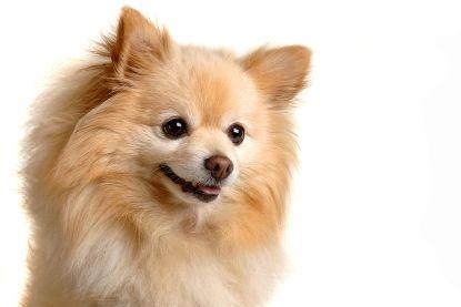 Pomeranian | Temperament & Personality