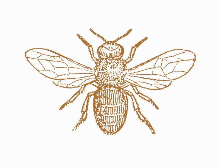 Vintage Bee Clip Art | Antique Images: Insect Clip Art: Black and White Illustration of Drone ...
