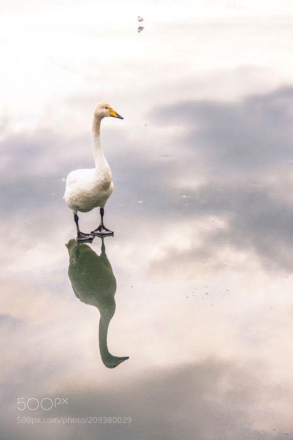 Tjörnin and Swan by misterbay via http://ift.tt/2oLpClg