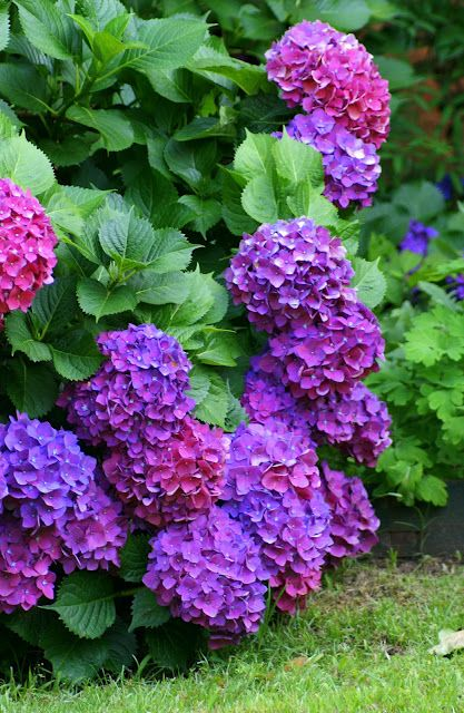 Hydrangeas/These look like mine, with all these different shades, they are so pretty.