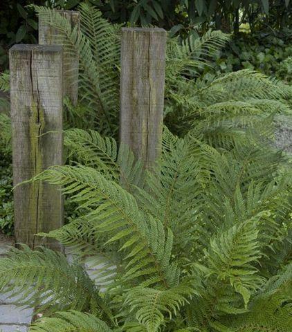 onderhoudsarme vaste planten voor je tuin: naaldvaren