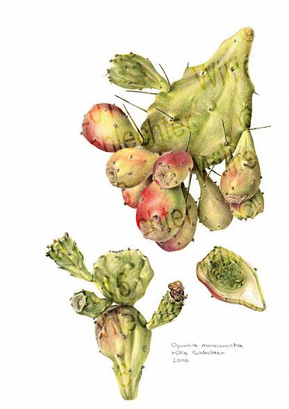 Looking for original botanical paintings or prints of Proteas, Aloes, South African flora? I paint in watercolour on commission and sell high quality prints.