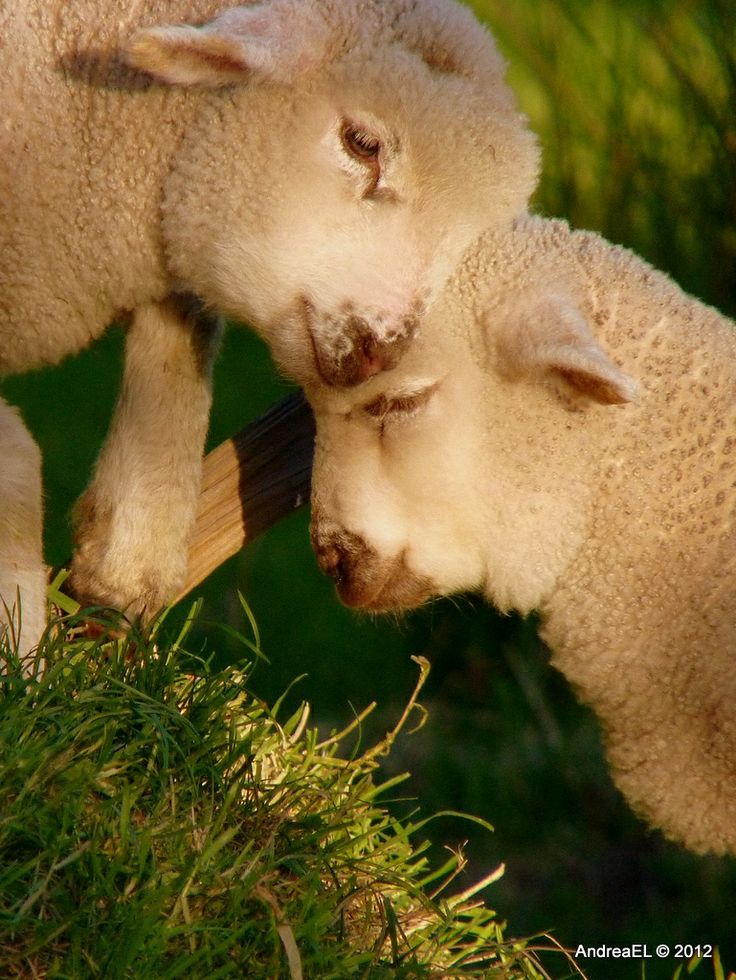 ❤❤❤all creatures, great & small❤❤❤  remember ~ they all have feelings!!!Baby Lambs, Beautiful Animal, Sheepi, God, Animal Kingdom, Sweets, Farms, Sheep I, Nature Photography