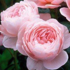 Queen of Sweden - Own Root - David Austin Roses