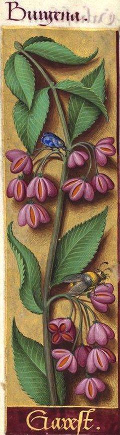 Garest - Burgena (Evonymus europæus L. = fruits du fusain ou bonnet de prêtre) -- Grandes Heures d'Anne de Bretagne, BNF, Ms Latin 9474, 1503-1508, f°107v