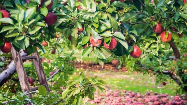 How to create your own year-round fruit harvest.    Planting the right varieties in the right areas of your garden will ensure bumper crops of tasty fruit for years to come.