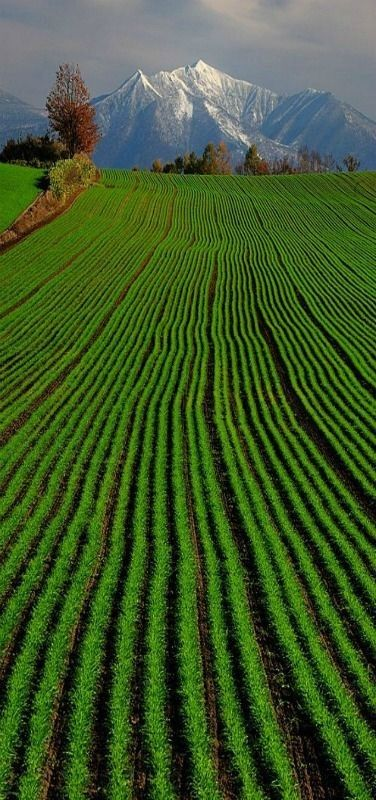 Green Wheat Hokkaido, Japan