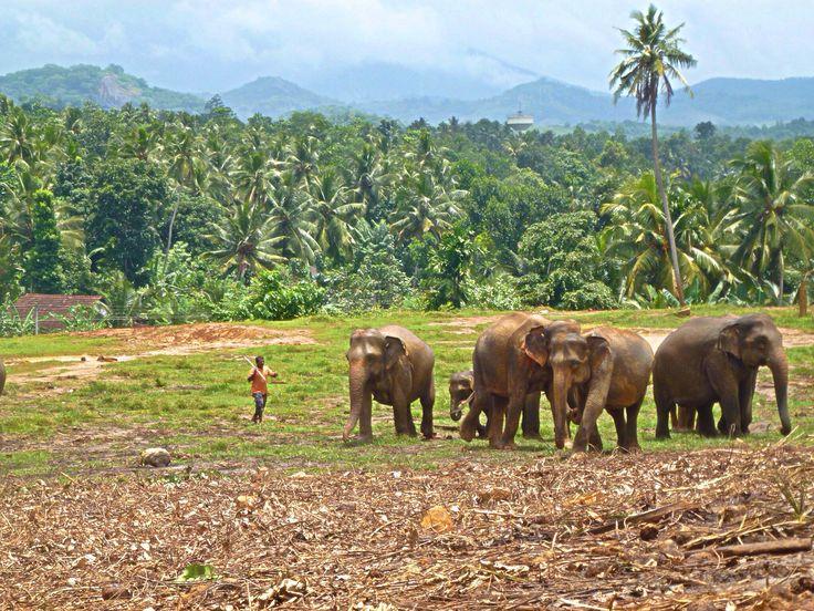 Elephants, Sri Lanka