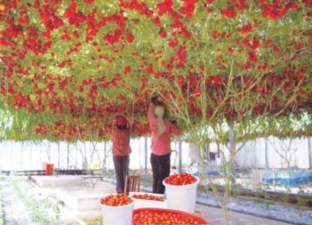 низкорослые томаты не требующие пасынкования для сибири: 11 тыс изображений найдено в Яндекс.Картинках