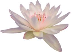 transparent-flowers:  Transparent white Lotus.