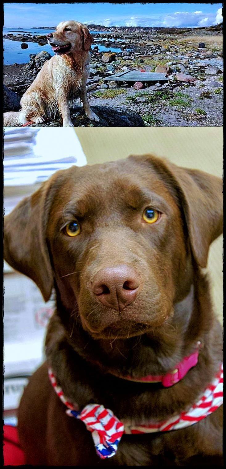 Labrador Puppies Victoria Australia Must See Labradordog