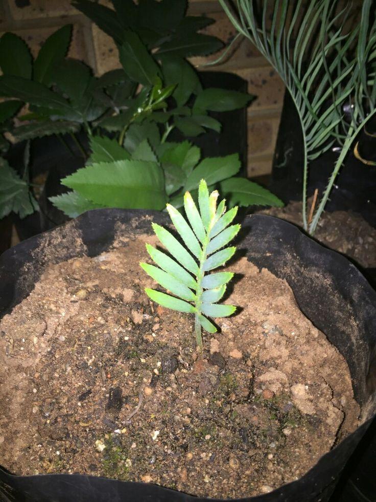 E. Hirsitus seedling
