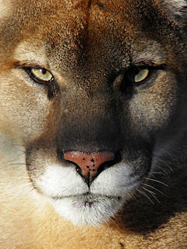 In indian lore the cougar totem is for balance & wisdom. I can see that- in the way they move & one only has to look in their eyes to see the wisdom.