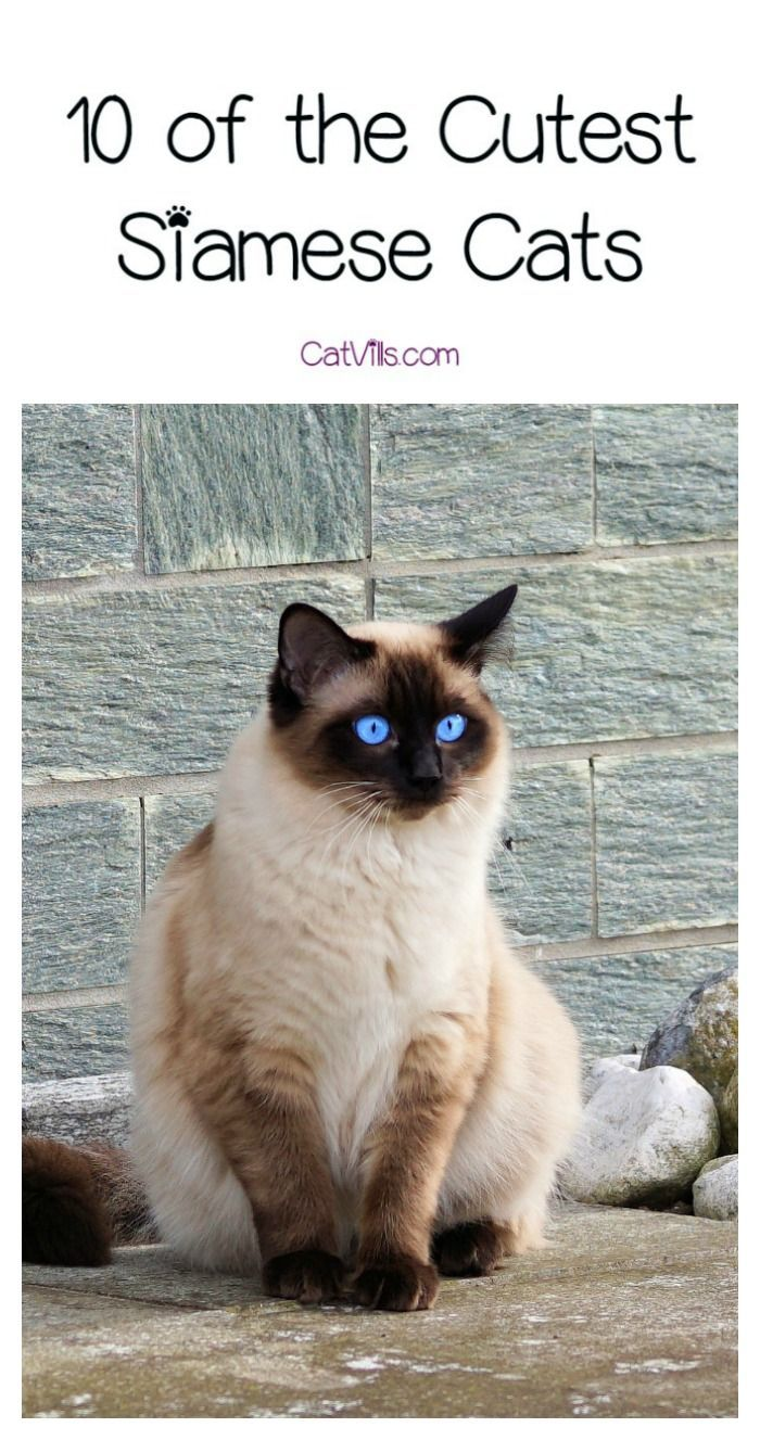 10 of the Cutest Siamese Cats Cat breeds, Cats, Siamese cats