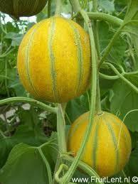 Groenten op het balkon: van mais tot meloen.