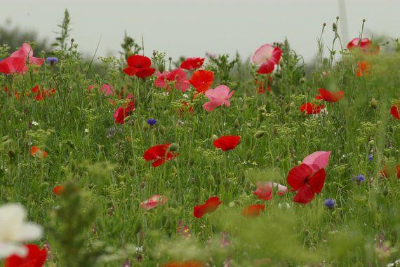 Red Poppy field, WW1, commemorative, flowers on Etsy, £16.75