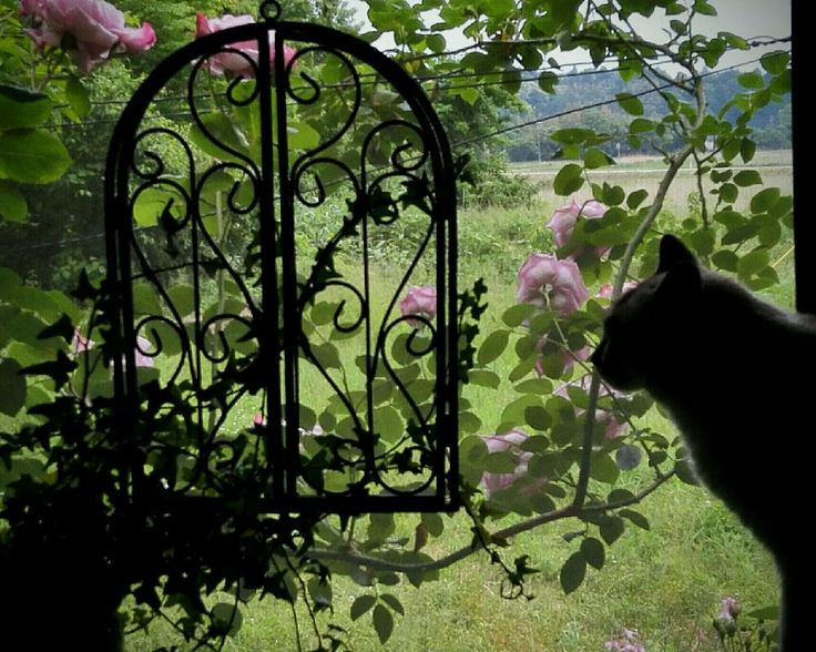 『トイレの窓からミミニャンとブルームーン。』tamiさんが投稿したブルームーン,バラ,庭の花,Green&PETを愛する会,能登便り,ネコと植物,窓辺のバラ,バラを楽しむ,薔薇コンテストの画像です。 (2016月5月31日)