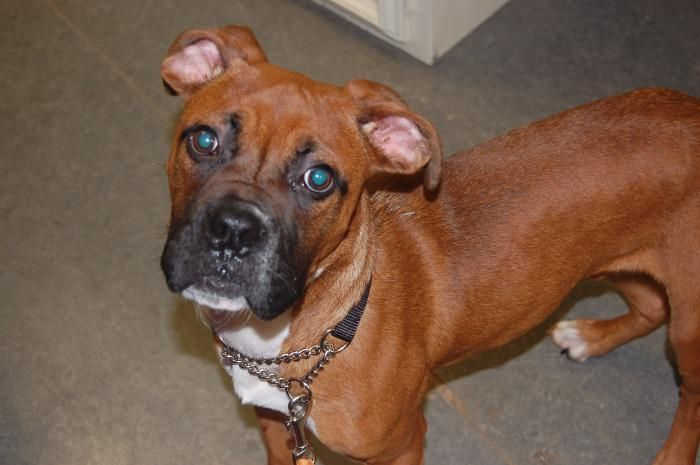 Boxer dog for Adoption in Richmond, IN. ADN702453 on