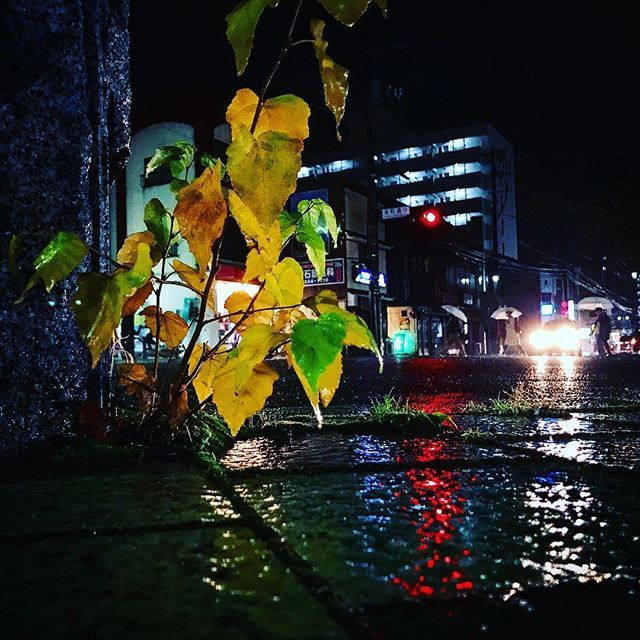 Instagram【pirai159】さんの写真をピンしています。 《小さな木をぬらす 冬の匂いの夜の雨 #紅葉 #黄葉 #夜景 #雨の夜 #rainynight #季節 #秋 #autumn #rain #rainyday #街中 #街 #街撮り #秋雨 #雨 #スナップ #snap #autumnrain #iphone #iphone7 #autumnleaves #streetsnap #ヘッドライト #headlights #ローアングル #lowangle》