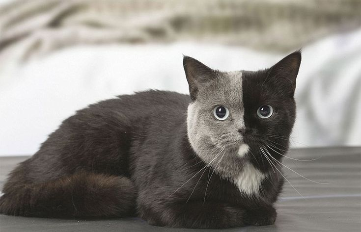We usually stay away from two-faced people, but there's nothing more adorable than a kitty with two-toned fur. Recently, professional animal photographer Jean-Michel Labat shot Narnia, an adorable British Shorthair cat in its home in France, and the pictures are making headlines all over the internet.