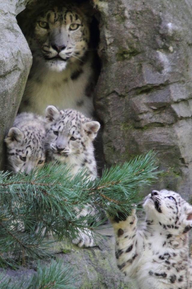Snow Leopard & Cubs.