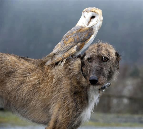 That's somethng you don't see everyday, owl riding on an irish wolfhound.