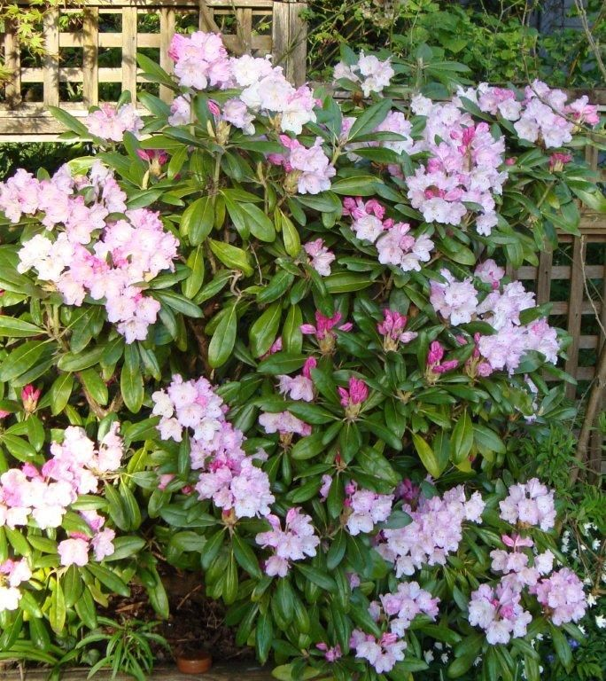 My pink Rhodo . Name ?