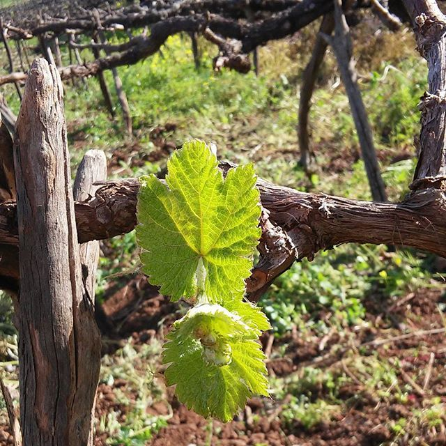 Hoy, he podido asistir al renacer de las viñas...que emoción ! Eso significa que #vinotinte 2018 esta a punto de comenzar ...❤❤❤❤❤❤❤❤❤