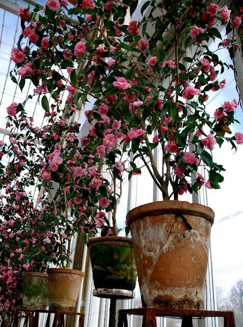 Tage Andersen's camellias