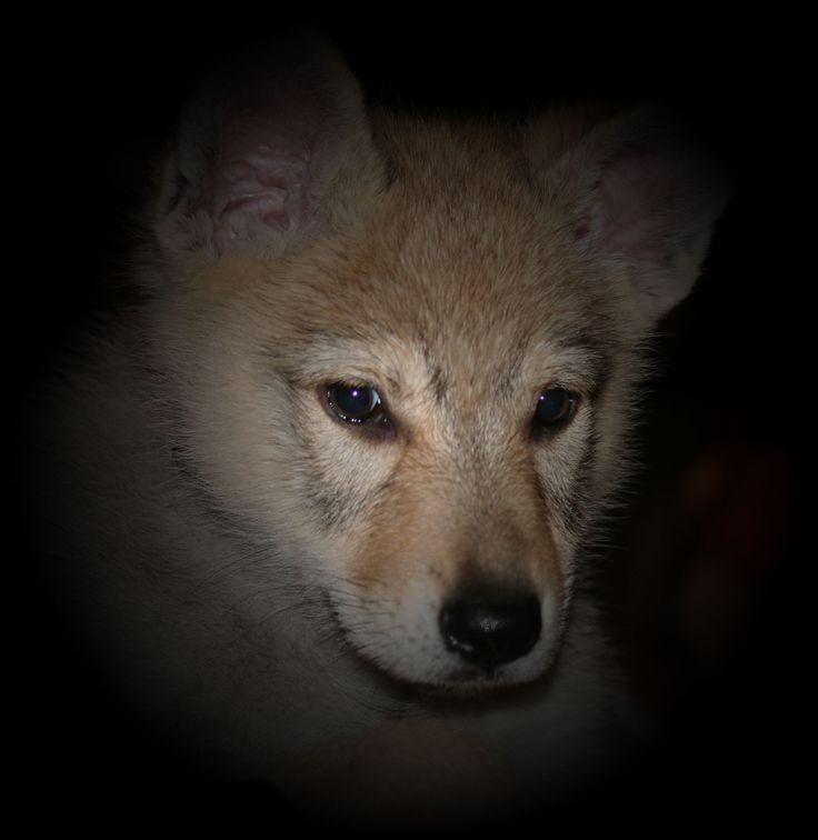 wilcze szczenię