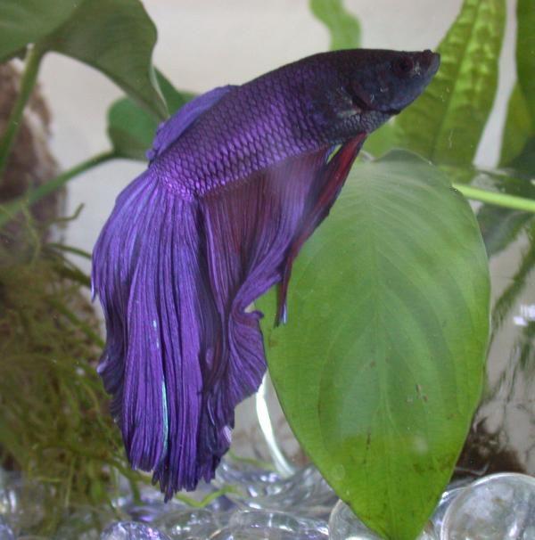 Peces compatibles con el pez Betta. El pez betta, también conocido como luchador de Siam, es un pez de agua dulce proveniente del sureste asiático. Puede llegar a medir 6 centímetros y, si lo cuidas...