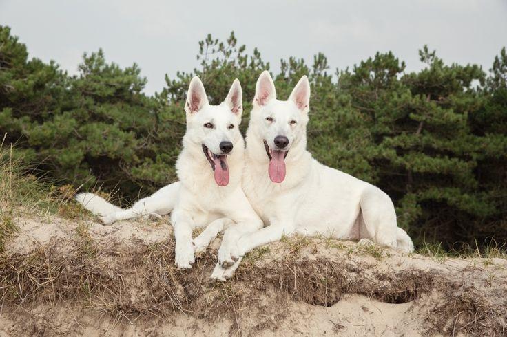 Hondenfotografie Wassenaar - Foto van de fotoshoot voor Zwitserse Witte Herders Wodan en Odin