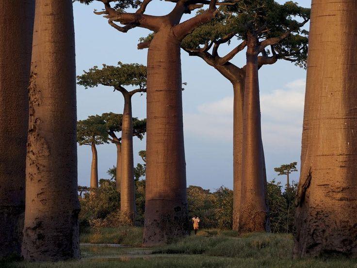 Árgoles Baobab en Madagascar. Adansonia es un género de la familia Malvaceae, Árboles conocidos popularmente como baobab, árbol botella o pan de mono. Contiene ocho especies, de las cuales seis crecen en la isla de Madagascar, y de las otras dos, la más conocida, Adansonia digitata, crece en África continental. Adoptan la forma de botella en la etapa de madurez, a partir de los 200 años. Pueden vivir hasta 800 o 1000 años, aunque se habla de ejemplares que han alcanzan los cuatro mil años.