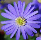Anemone blanda blue-flowered winter windflower blue-flowered bulbs Position: full sun or partial shade Soil: well-drained, humus-rich soil Rate of growth: fast-growing Flowering period: March to April Flower colour: blue Hardiness: fully hardy Height: 15cm This is a wonderful plant that produces cheerful, daisy-like flowers in shades of blue and purple in March and April.