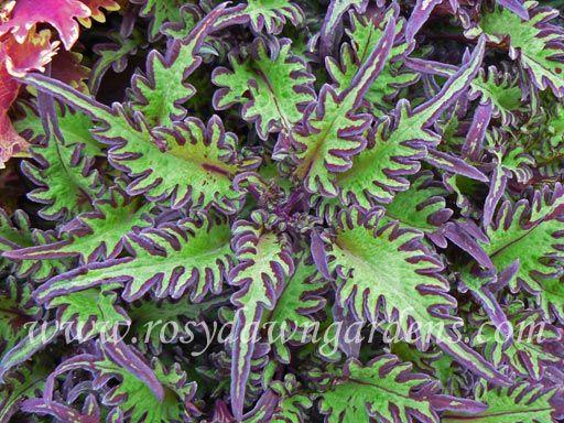 Under The Sea Lime Shrimp Coleus | RosyDawnGardens.com : Online Coleus Plant Catalog | Rosy Dawn Gardens, | Coleus Growing Specialists