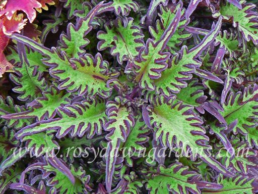 "Coleus 'Under The Sea Lime Shrimp' (medium 12""-18""; upright)  Narrow, sea-green filagreed leaves have a purple penciled edge. Part of Hort Couture's 'Coleus Under the Sea®' collection.  $6.00"