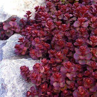 Sedum Spurium. Love the deep red color.