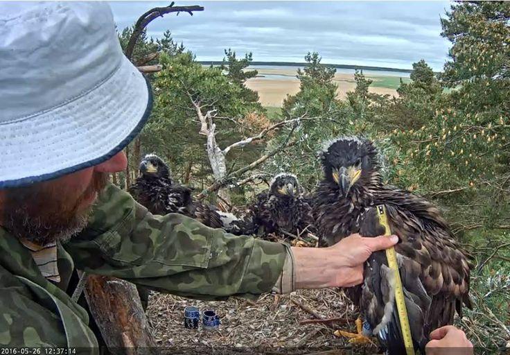 Video - Kroužkování Orlů mořských, ringing of eagles