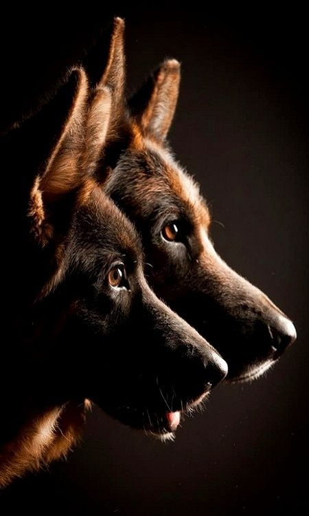 Deep rich colors, eyes as dark as possible...    from the GSD standard