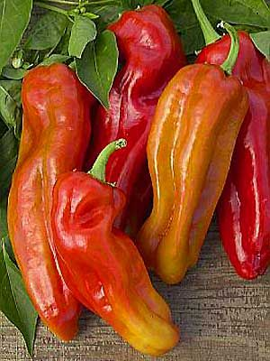 <p> Sweet frying pepper, 4.5-6 inches long x 2-2.5 inches in diameter, 3 lobes, tapers to a blunt end, slightly irregular and roughened, medium-thick waxy flesh, yellow-green to red, distinct flavor, pendant.</p>