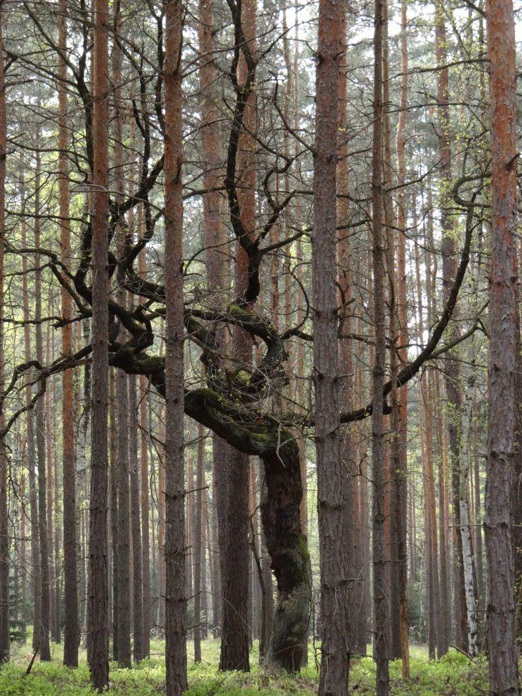 drzewo w lesie