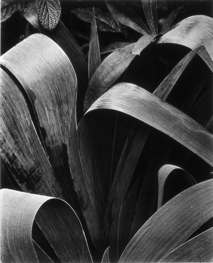 Paul Strand - Palms