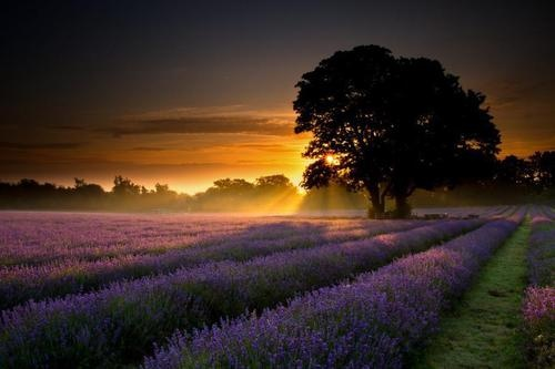 Tree and lavender fields