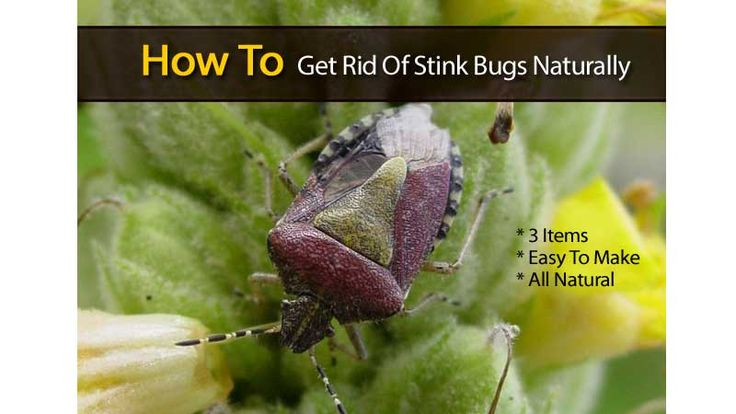 1000 images about bugs on pinterest ants ant killers - How to get rid of stink bugs in garden ...