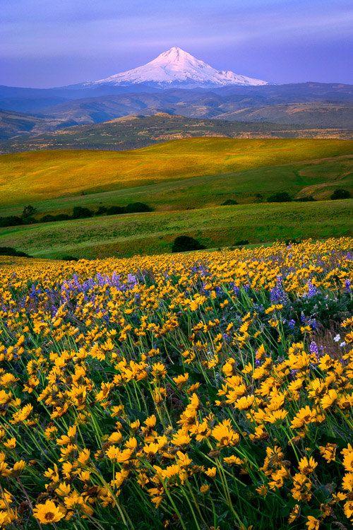 Arte foto impresión, colinas de Columbia, Washington, Oregon de Mt. Hood, flores silvestres amarillas, montaña, Pacífico noroeste, fotografía de naturaleza